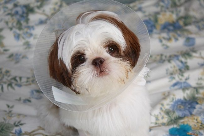 Adopt Grover On Animal Rescue Pets Shih Tzu