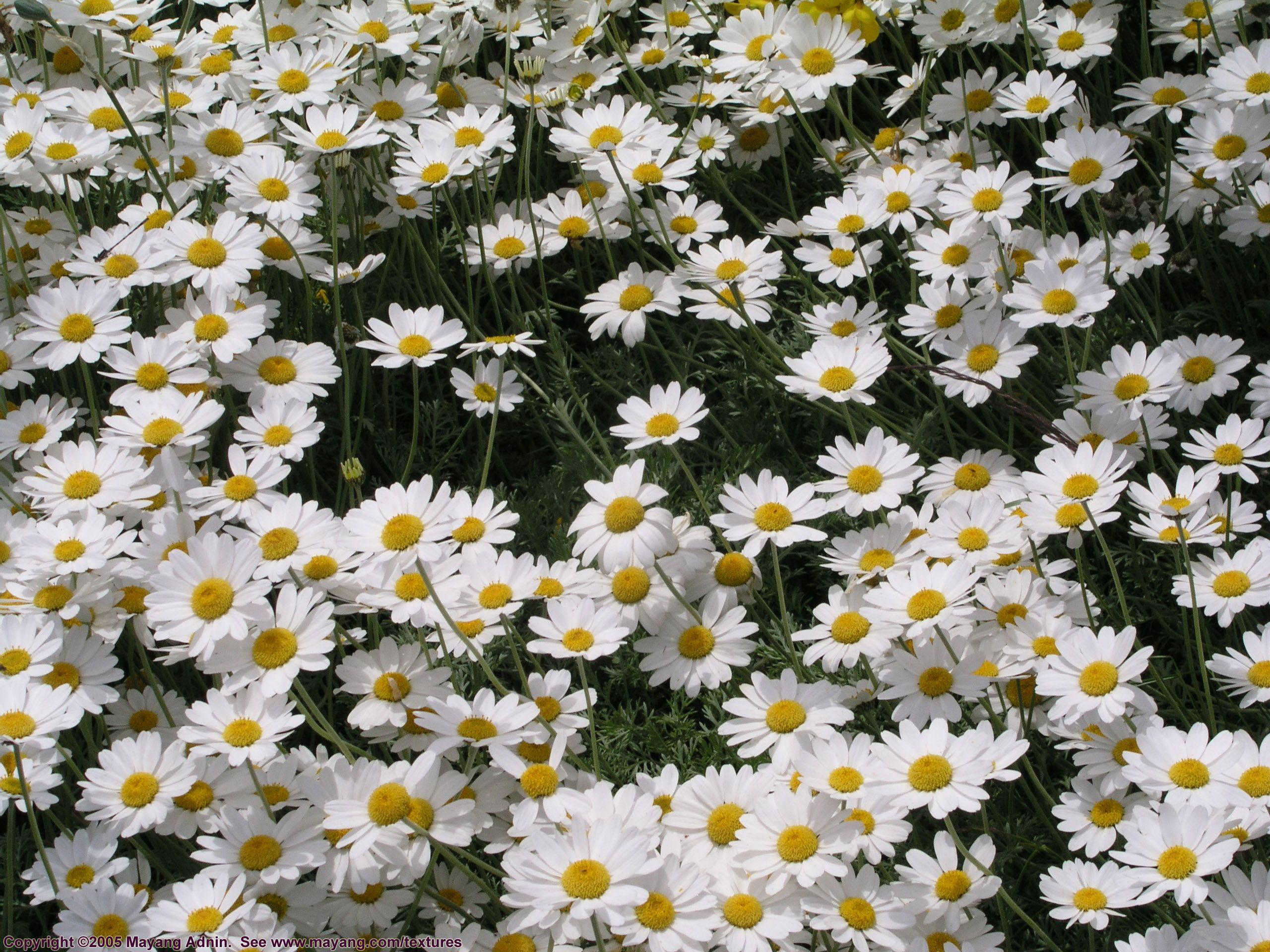 Tiny Daisy Like Flowers Google Search Flowers Pinterest