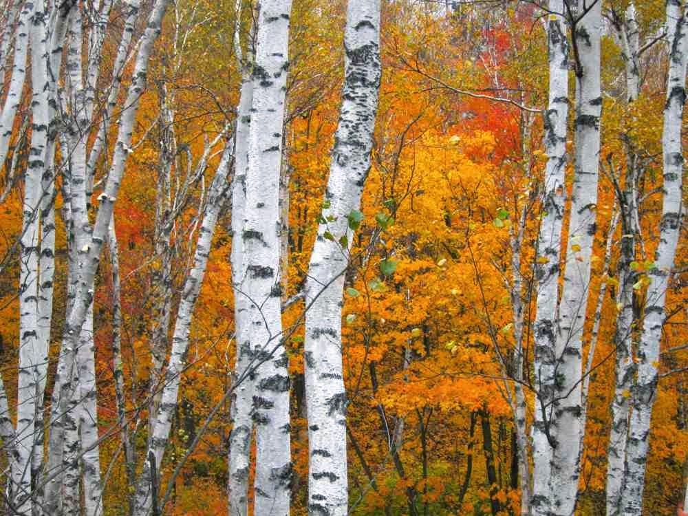 Birch Tree Paintings Fall Birch Trees Birch Tree Art