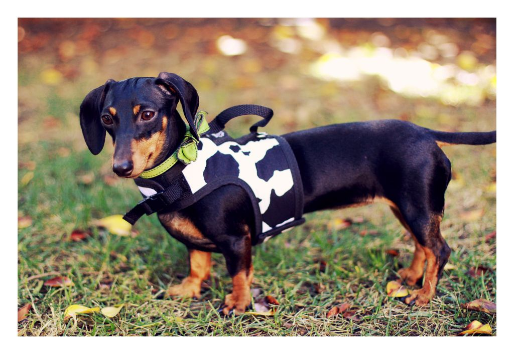 Pin By Nancy Parker Rist On Penny Wienie Friends Dog Harness