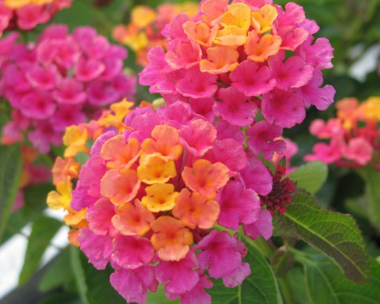 48 gorgeous annual flowers for your garden dream garden gardens 48 gorgeous annual flowers for your garden izmirmasajfo