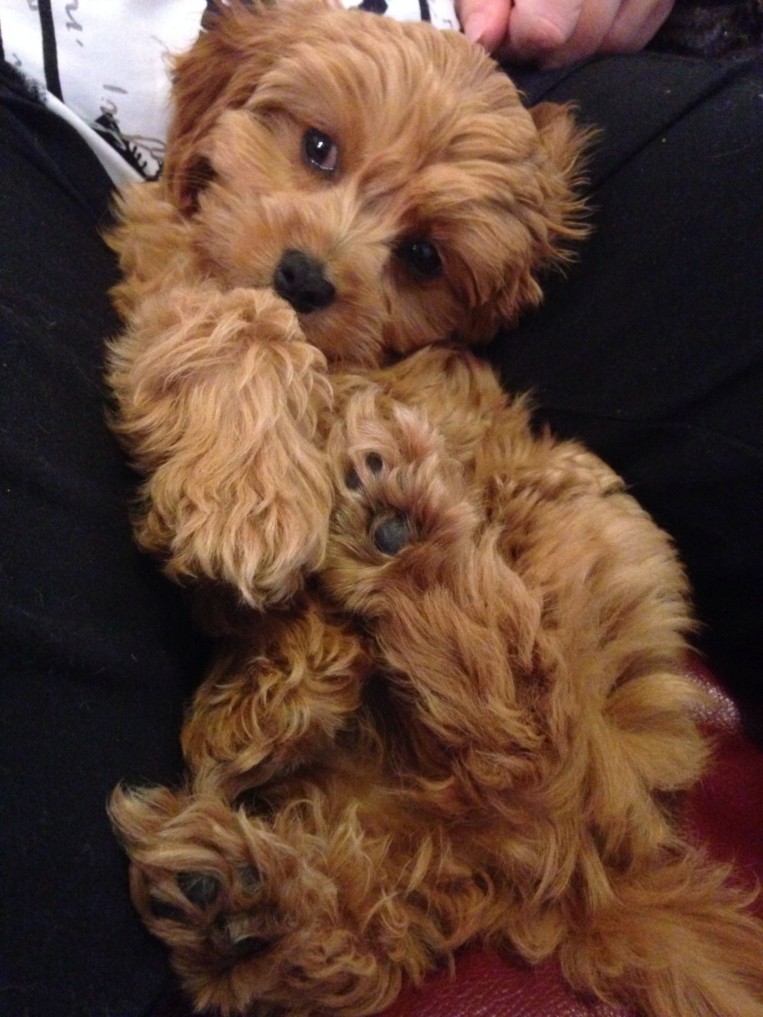 Poppydix Puppy Cavoodle Cute Cute Fluffy Puppies Puppies Puppies And Kitties