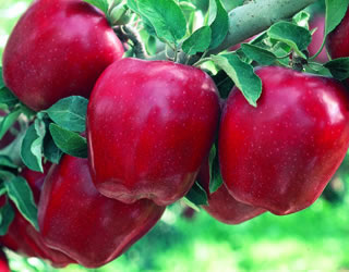 Starkrimson Red Delicious Apple From Stark Bro S Dwarf Fruit Trees Fruit Trees Spring Hill Nursery