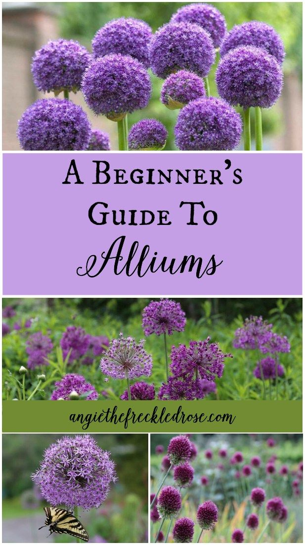 A Beginner S Guide To Alliums Angie The Freckled Rose Flower Garden Plants Gardening For Beginners