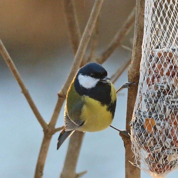 #talitiainen #talitintti #linnut #luonto #suomenluonto #lintulaudalla by taihokka