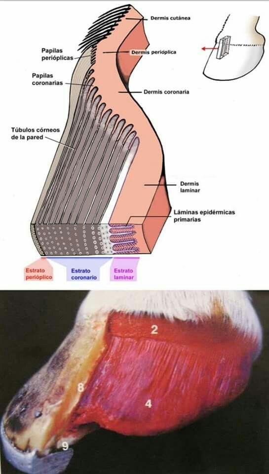 Estratos del casco | Un poco d Anatomía Equina | Pinterest | Anatomía