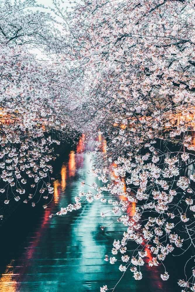 Seeing the Cherry Blossoms at Meguro Canal is a must do in Tokyo! Planning a trip to Japan and looking for a Japan travel guide to follow? Or a Japan itinerary with tons of Japan travel photos to go with it? Read the top things to do in Tokyo Japan on avenlylanetravel.com #japan #tokyo #avenlylanetravel #japantips #traveltips #asia #wanderlust #avenlylane