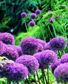 Ail géant (Allium giganteum) | Plante, Bulbes, Plante jardin