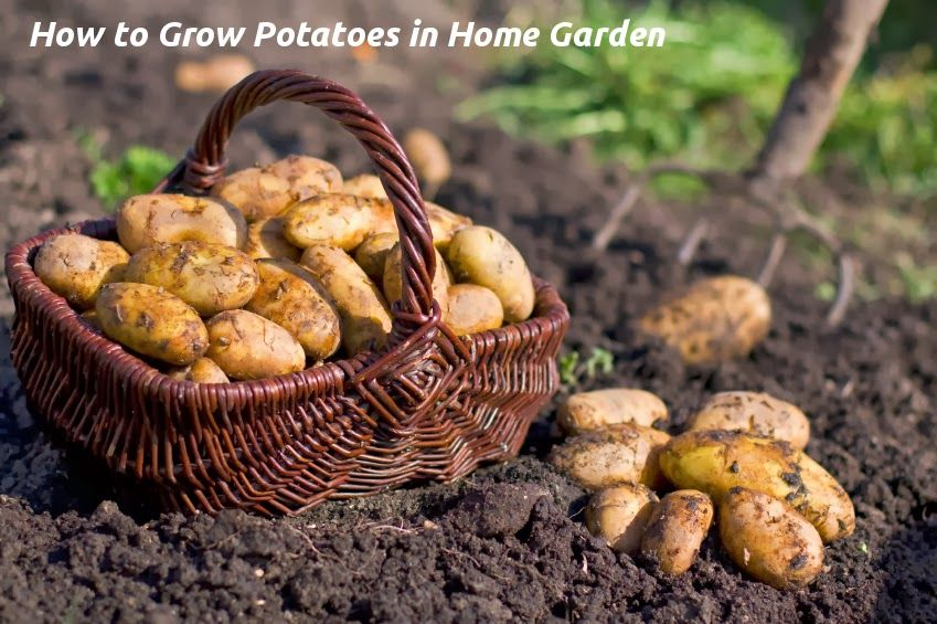 How to grow potatoes olivias solutions growing