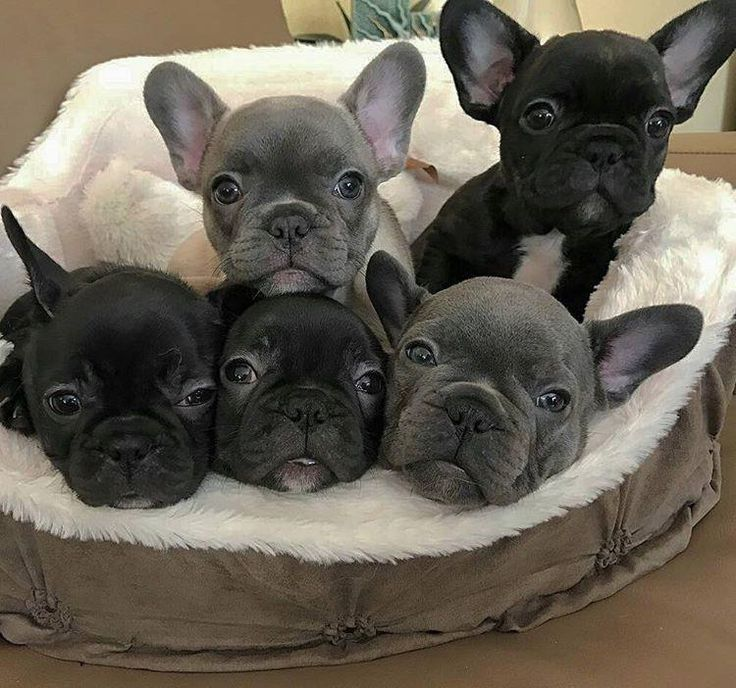 French Bulldog Playful And Smart Cute Animals