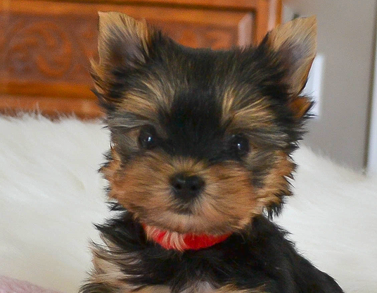 Akc Teacup Yorkies For Sale In Tn Parti Yorkies Teacup Yorkies