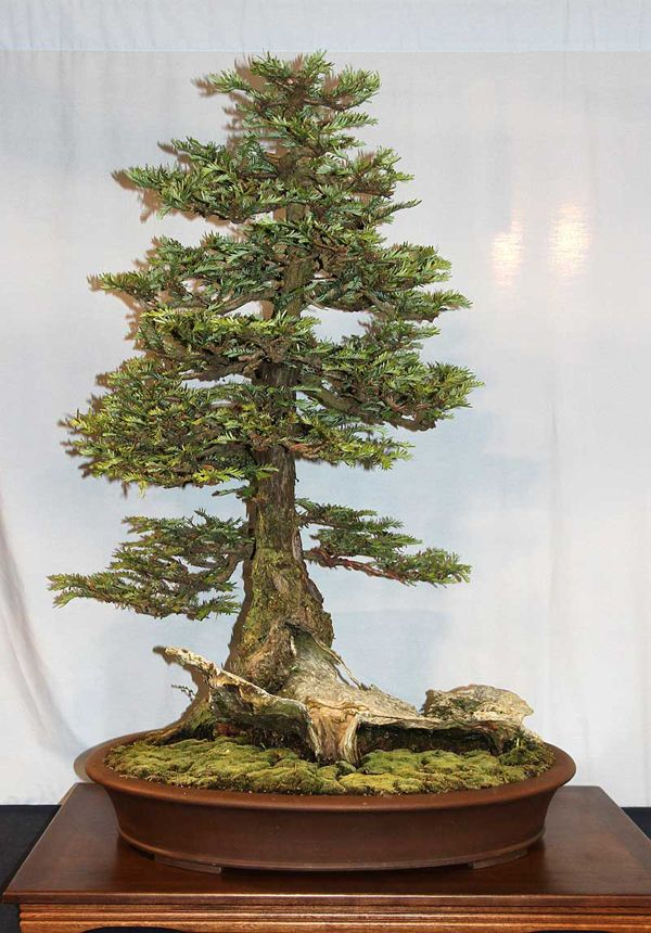 Coast redwood bonsai tree bonsai de interior pinterest for Bonsais de interior