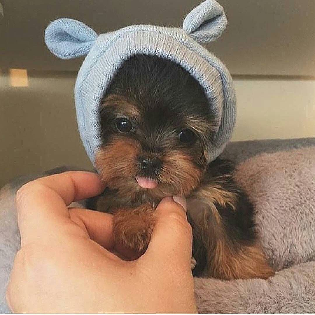 Too adorable. Who ever owns this puppy and photo...Kudos to cuteness overload  #cuteness #cutenessoverload #pup #puppy #adorablehat #doghat #love #regram by duaceelor #lacyandpaws