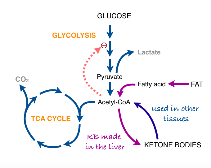 The last post described the two major processes in energy metabolism the last post described the two major processes in energy metabolism anaerobic glycolysis ccuart Images