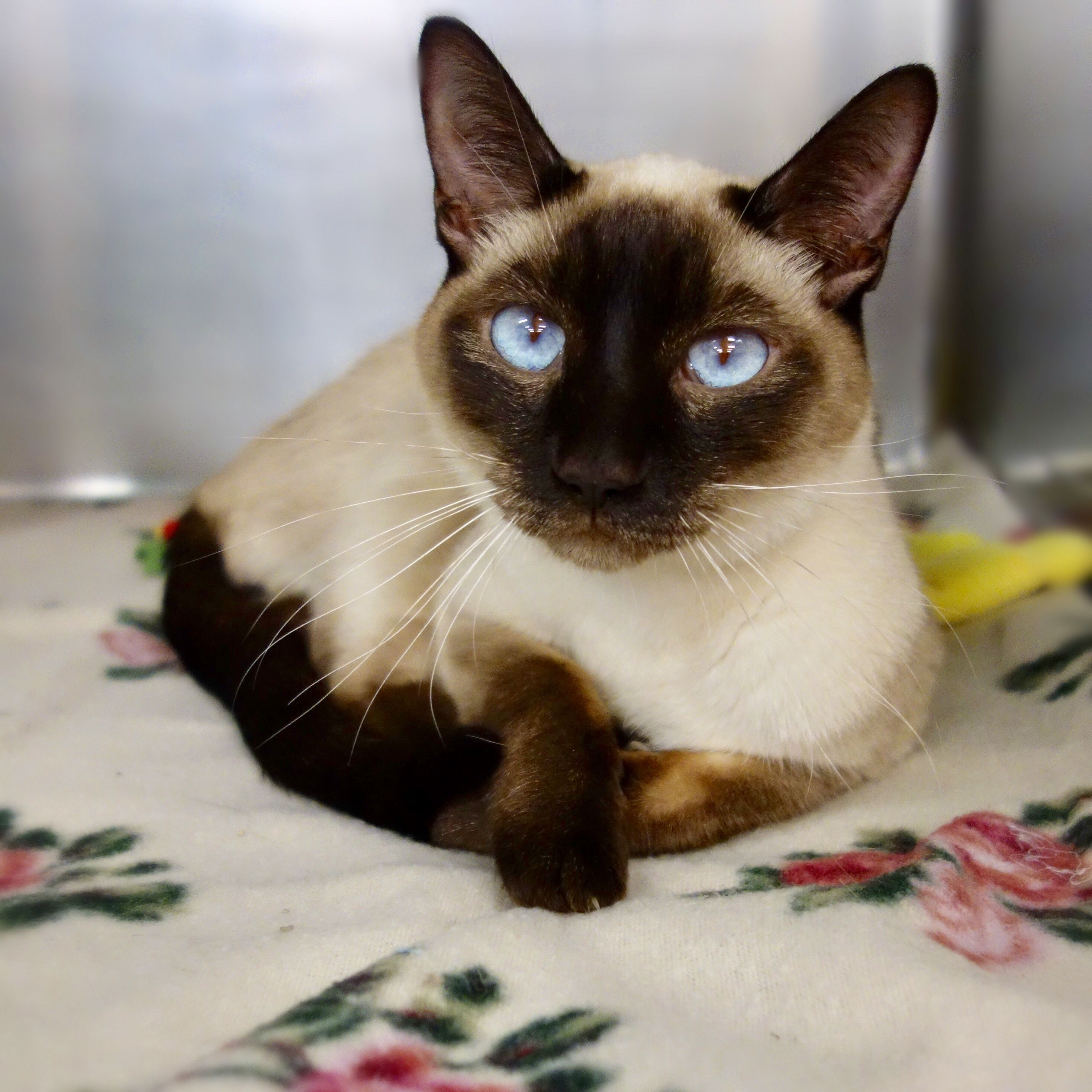 Mrs. Tam is an adoptable siamese searching for a forever
