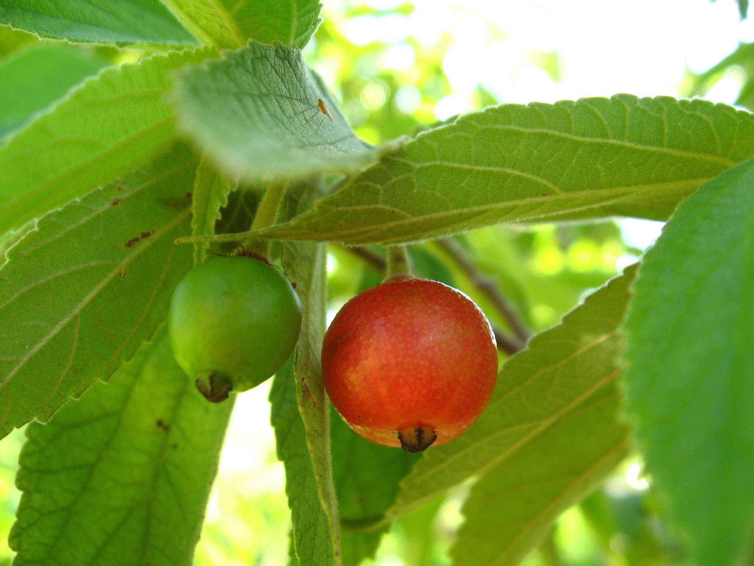 Panama Berry 52 Jpeg 2 592 1 944 Pixels Fruit Trees Fruit Tropical Fruits