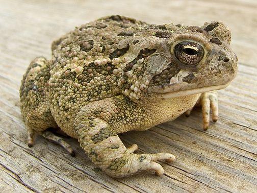 Big Toad Frog Frog Species Toad