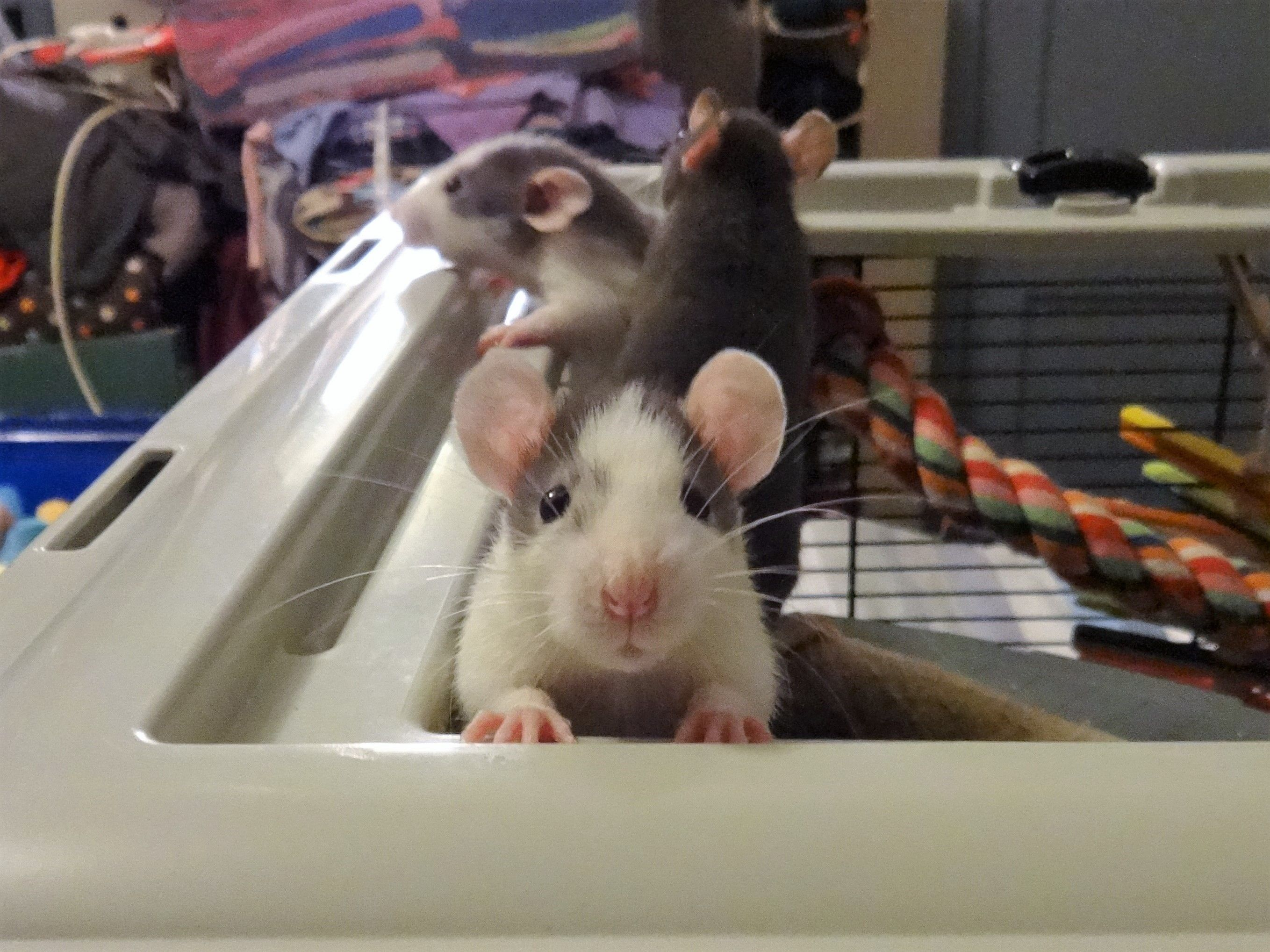 Baby Rats Newt Badger And Jazz Hands First Free Range Baby Rats Rats Baby