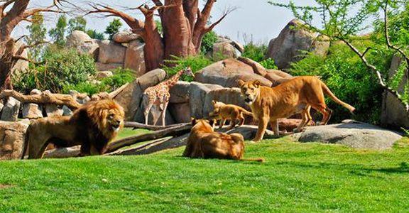 Leopardo en Bioparc Valencia Valencia, Zoo, Besuchen
