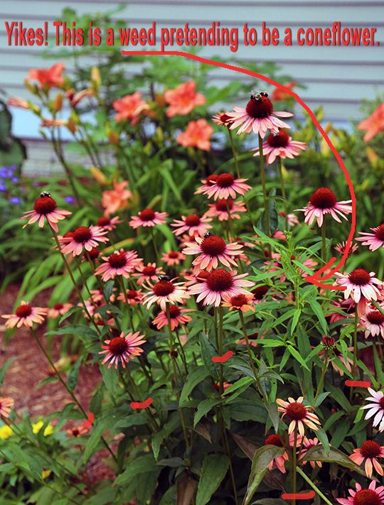 Planting And Caring For Echinacea Coneflower Echinacea Plants Country Gardening