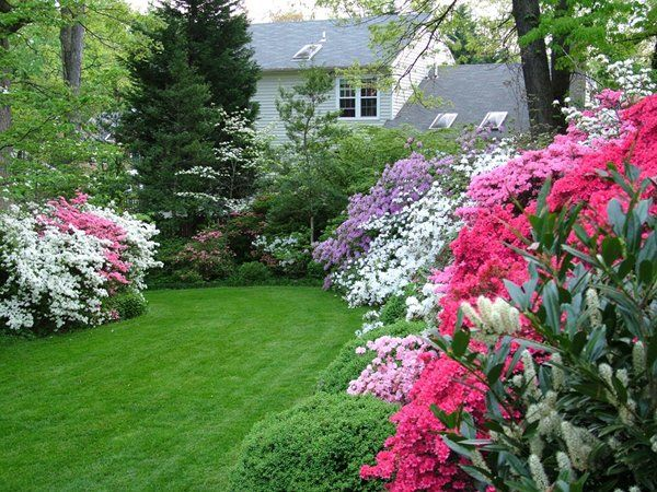 Merrifield Garden Center - Azaleas & Rhododendrons Make Spring ...