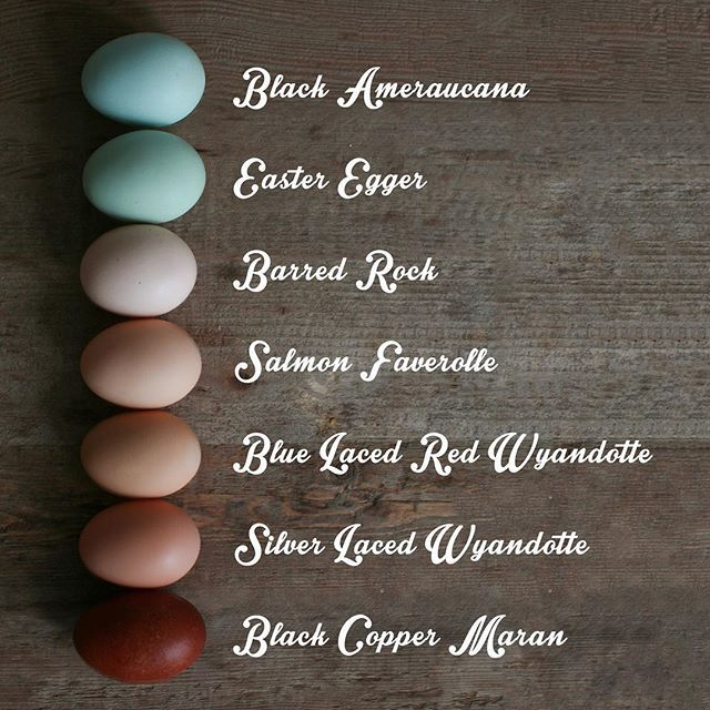 "Portland Chickens on Instagram: ""Now that my Wyandotte hens are officially laying I can update this graph for you guys. Also the faverolle egg color has changed a bit since…"""