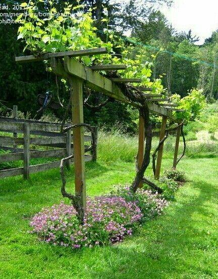 Grape vine trellis   Garden vines, Backyard vineyard ...