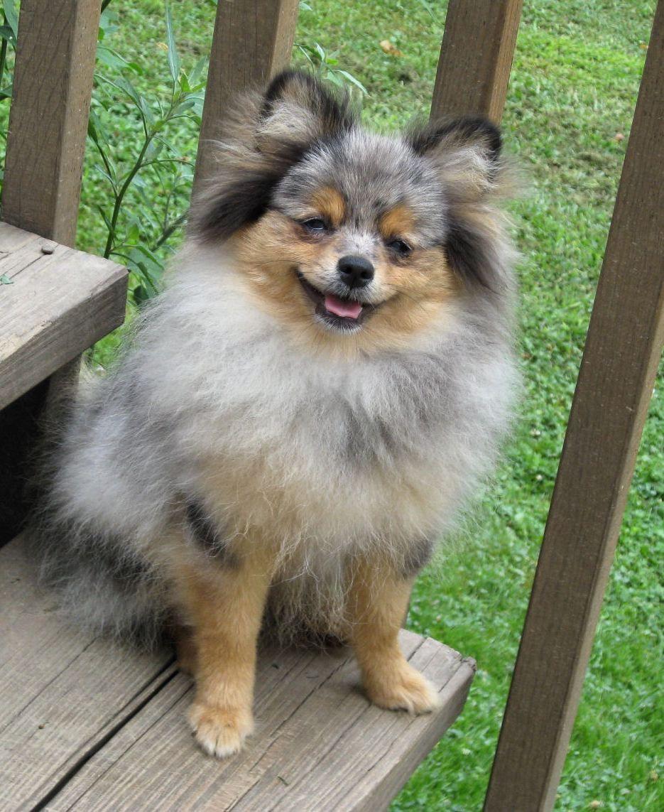 Blue Merle Pomeranian Puppy Dogs | cute animals | Pinterest ...