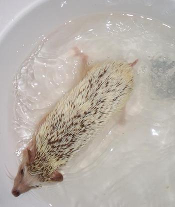 Needlework Hedgehogs in Richmond, VA | HEDGEHOG CARE