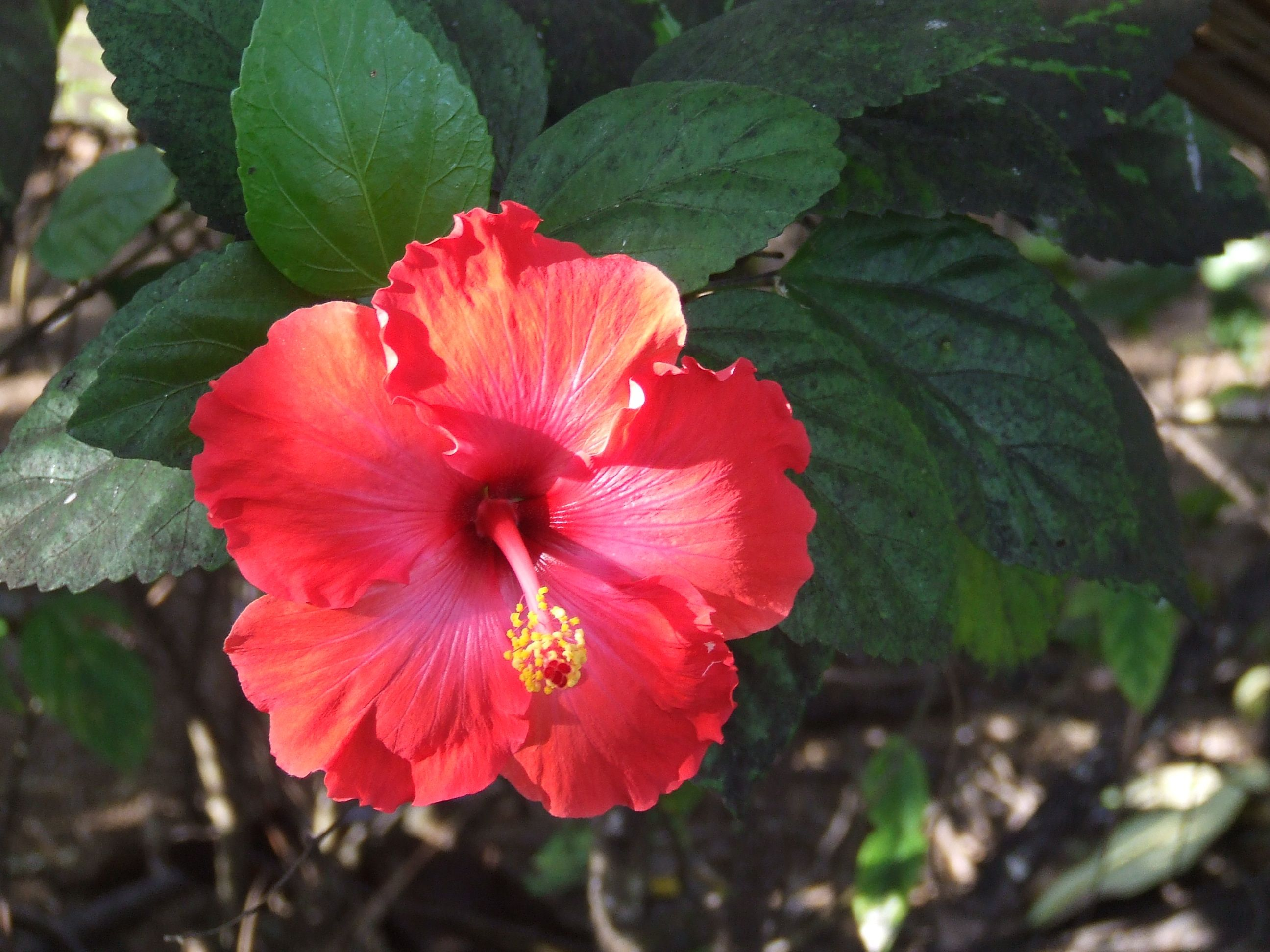 Hibiscus I wear one in my hair every day when I am in the islands. How do YOU transition into Island Life? Put on flip flops? Live in a bathing suit & shorts? Order a tropical cocktail? #travel #Tahiti #hibiscus #IslandLife