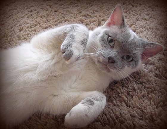 Available For Adoption Purebred Cat Rescue Purebred Cats Cats Cat Rescue
