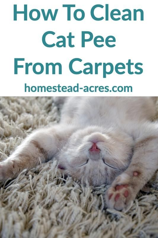 How To Get Cat Pee Smell Out Of Your Carpet Cat Pee