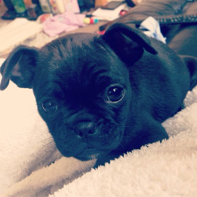 7 Week Old Chug So Adorable Pug Chihuahua Puppy With Images