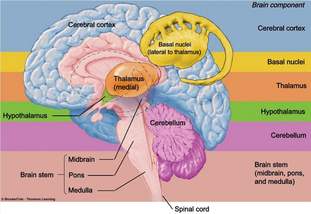 Pin by Timothy Joseph on Head & Neck | Pinterest | Brain and Human ...