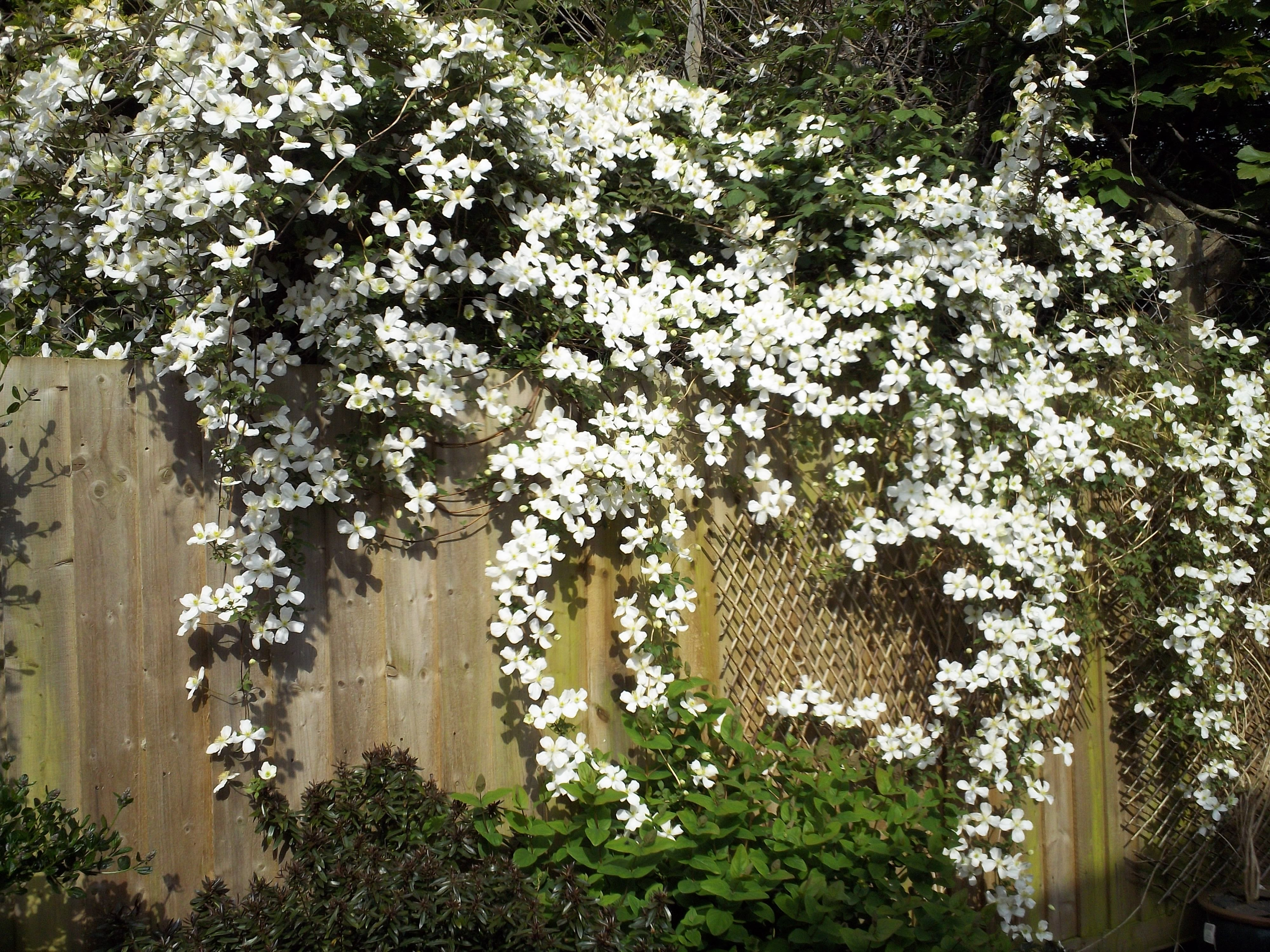 clematis montana alba grandiflora large flowered. Black Bedroom Furniture Sets. Home Design Ideas