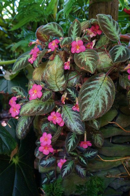 Episcia cupreata pink panther one day mine will be this big episcia cupreata pink panther one day mine will be this mightylinksfo