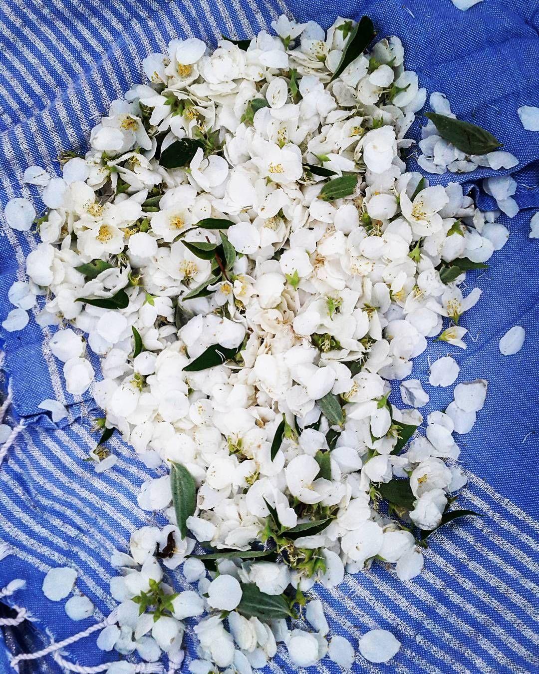 Jasmiininkukkia, Jasmine flowers #jasmine #jasmineflowers #flowersugar #flowers #whiteflowers #pedals #teaflowers #tea #naturalcosmetics #edibleflowers #syötävätkukat #syrupingredients #smellssogood #jasmiini #yönkuningatar #summerflowers #garden http://misstagram.com/ipost/1571082045592725298/?code=BXNmsvojGcy