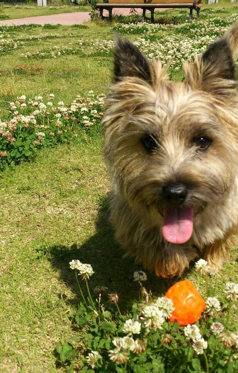Pin By Monika Malkoun On Ct Cute Dogs Cairn Terrier Dogs