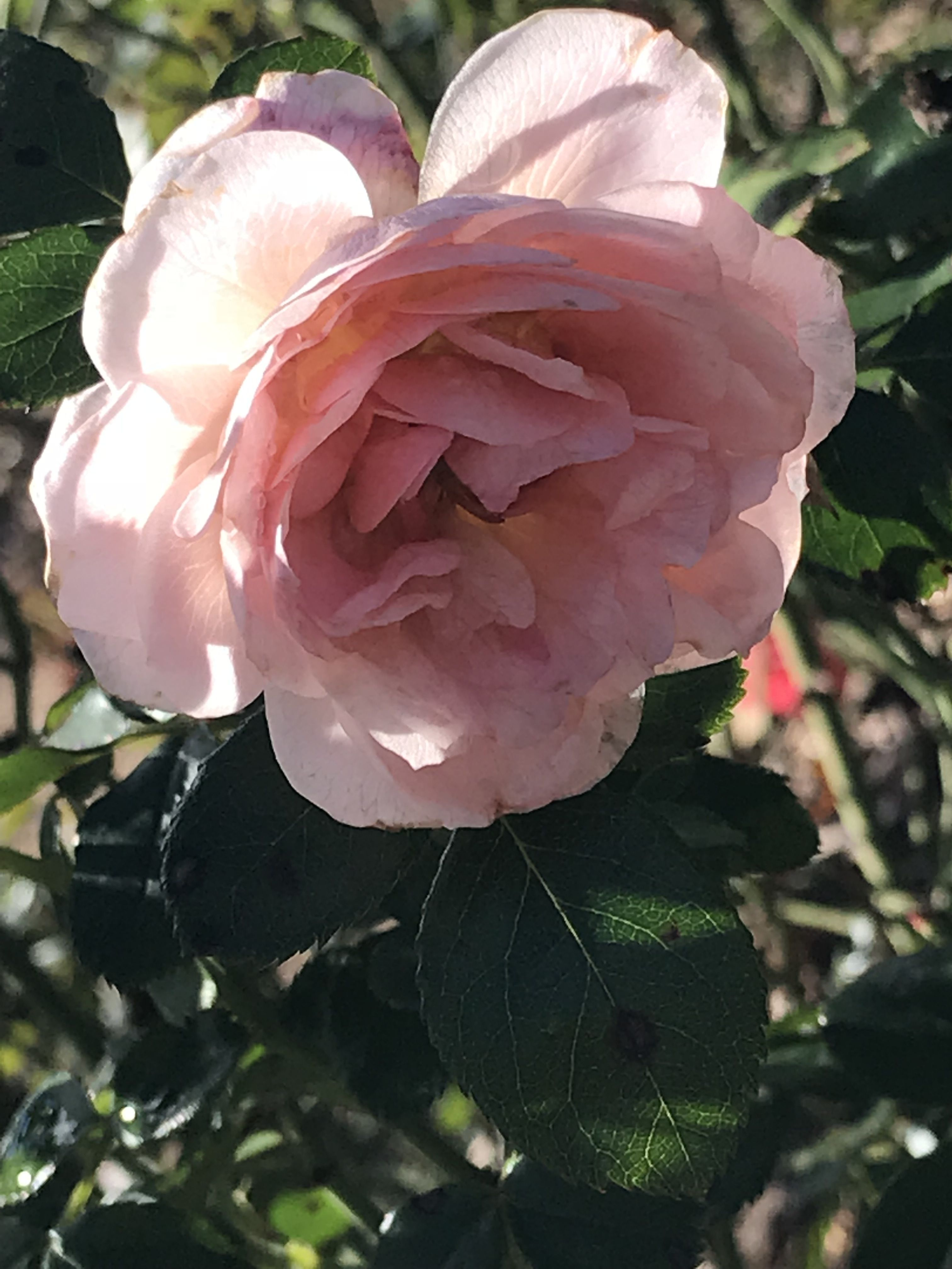 Pin by daisey on aes d. nature Beautiful pink roses