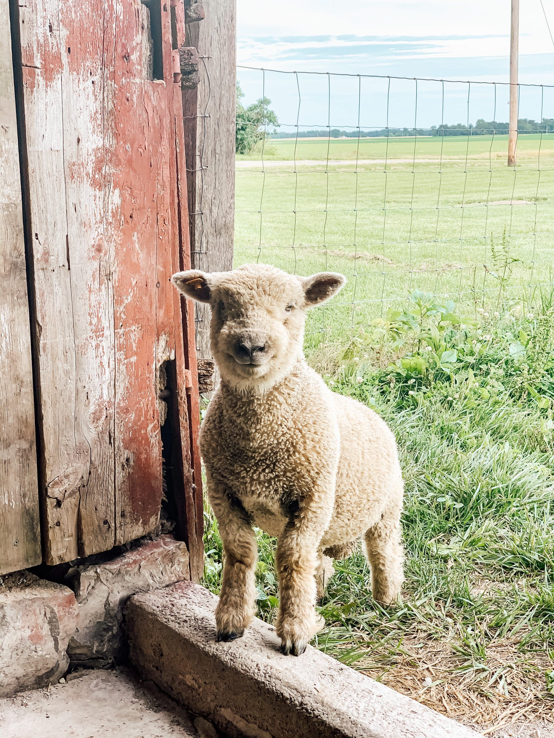 Our Babydoll Ram Lamb is Here