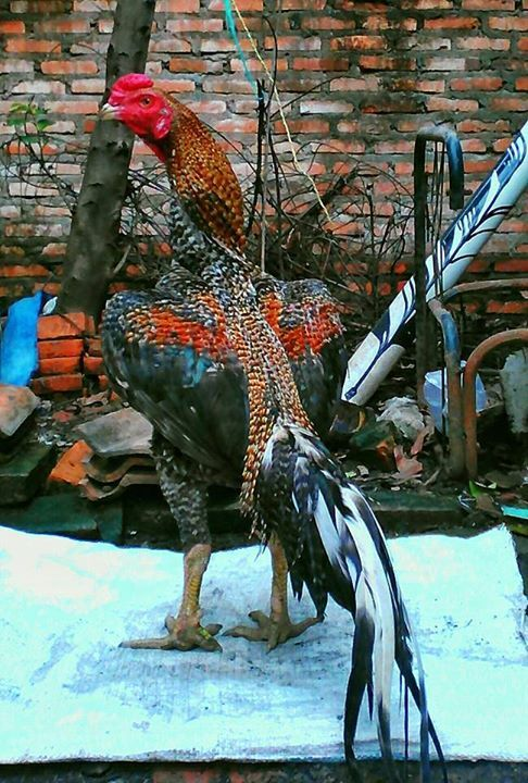 Rooster World Rooster Asil Gallos Rooster Game Fowl Chicken