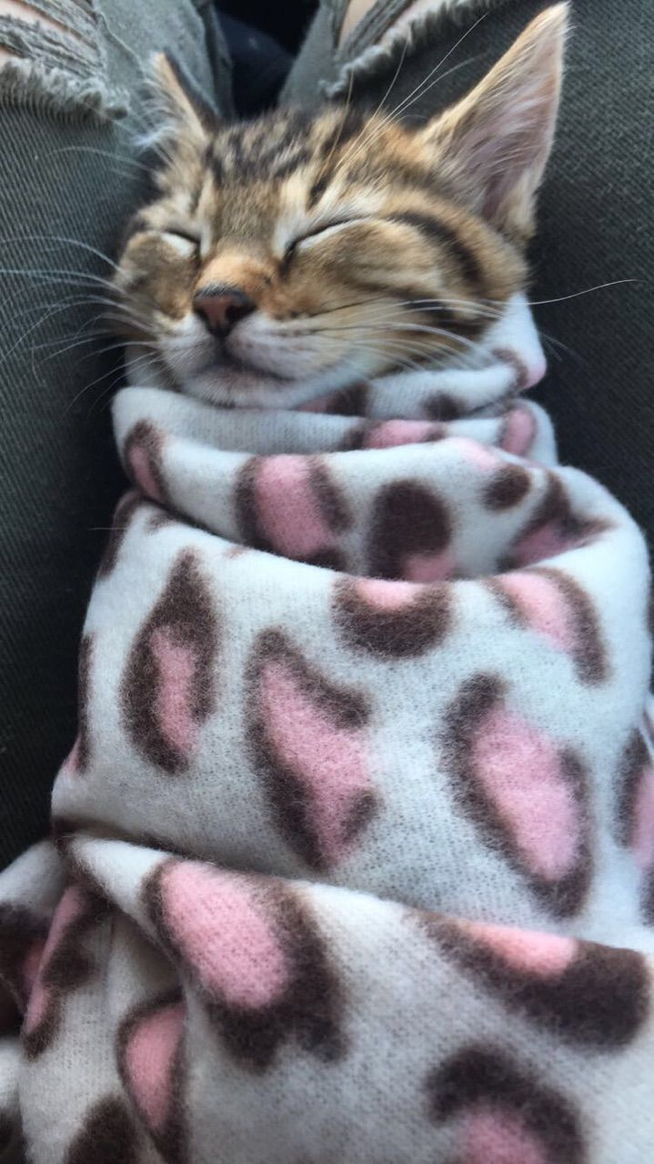 Adopted This Kitten Burrito Today Cats Kitten Cat Facts