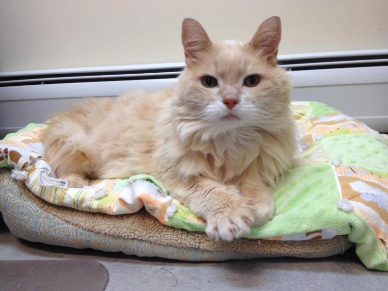 Adopt Lyman on Petfinder Cat adoption, Animal league