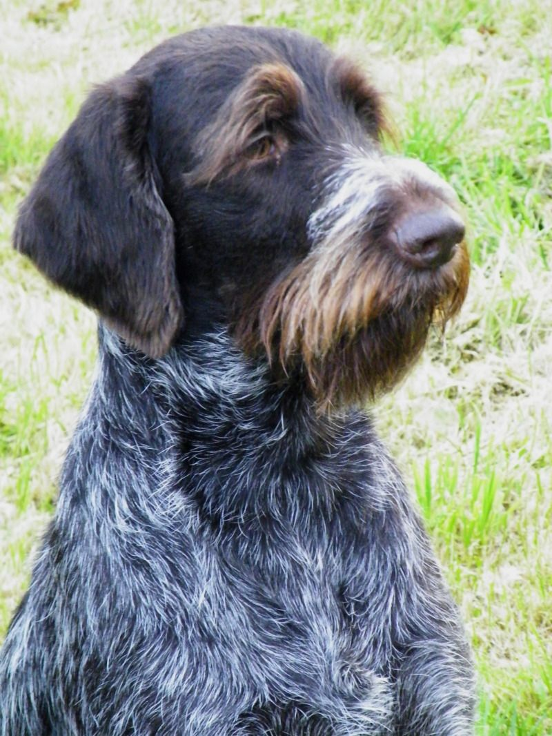 German Wirehaired Pointer. He\'s so cute.. He looks like an old man ...