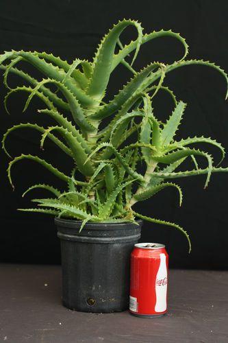 Aloe Arborescens Tropical Succulent Plant Medicinal Krantz Vera 6