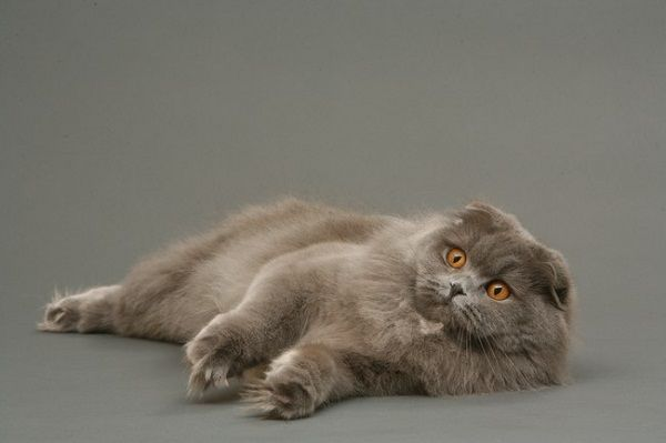 Scottish Fold Cat Long Hair Information Pets Blog Cat Scottish Fold Scottish Fold British Fold