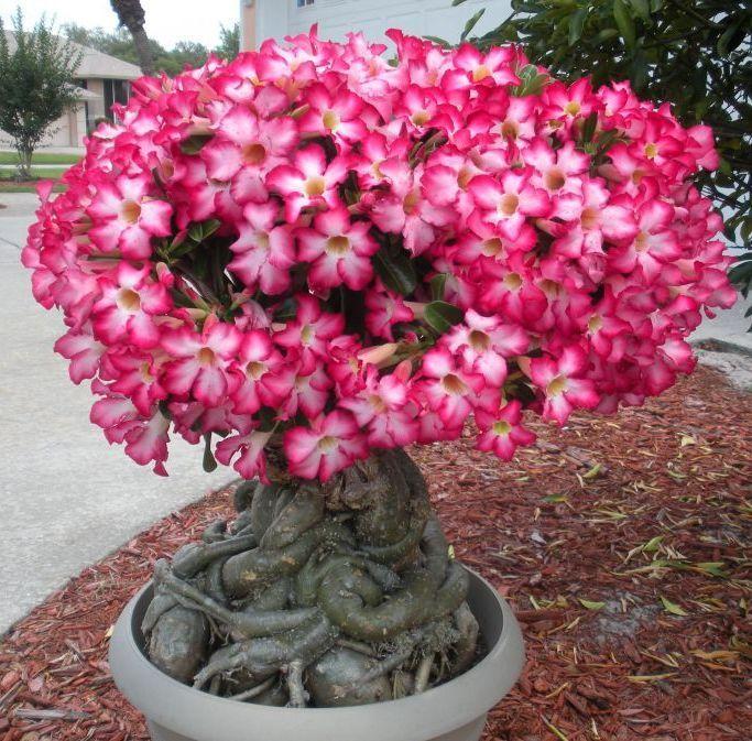 Plant Obesum Rose Tropic Adenium Flower Seed Desert 10 pcs Bonsai Outdoor RARE