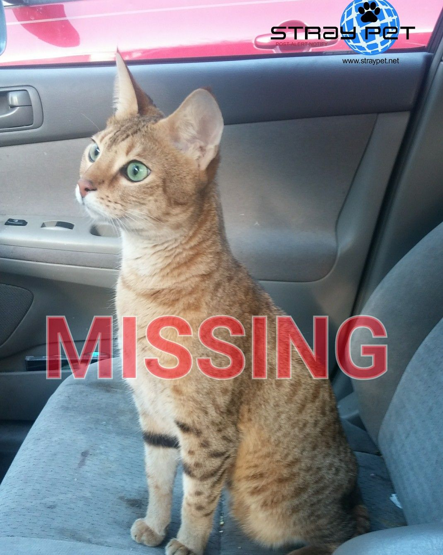 Stray Pet Alert Missing Cat named Lions (Austin, TX