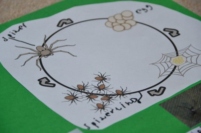 Minibeast Hunt Spiders Kindergarten Life Cycles Plant Life Cycle