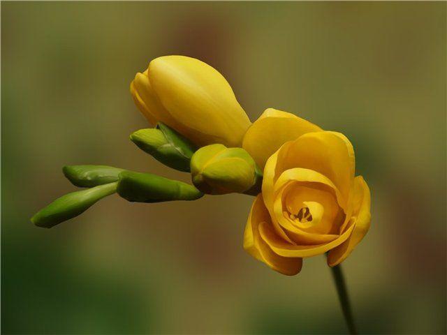 cveti-nastroeniya-freziya.jpg (640×480)